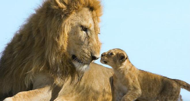 minden-pictures-male-lion-cub